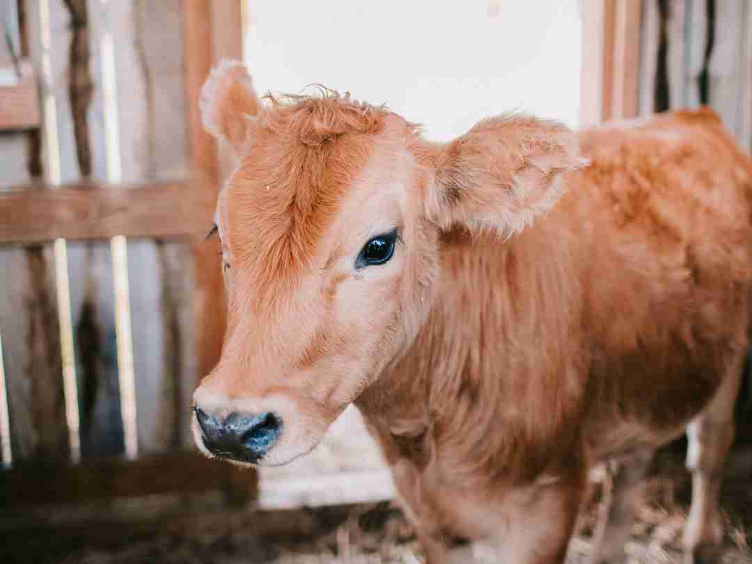 Cow in farming facility 2