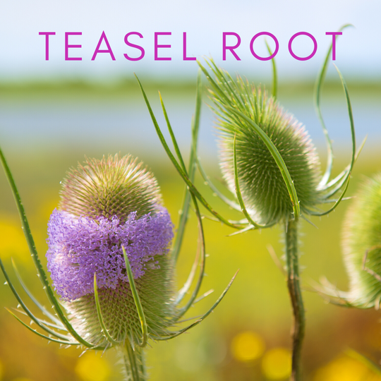 teasel root, cure for lyme disease, bartonella, babesia