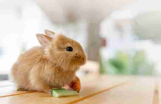 little bunny eating cucumber