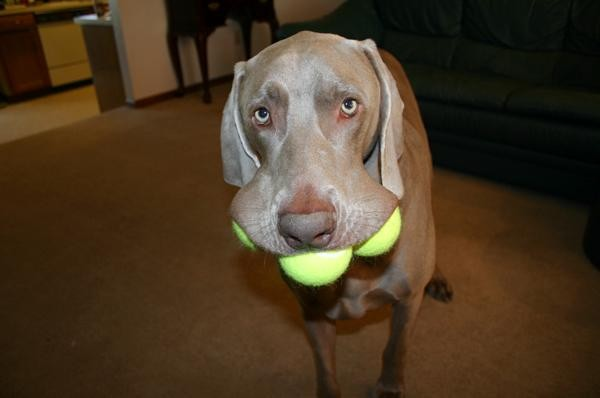 Tennis Ball Dog