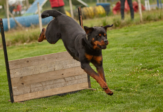 DOG COMPETES IN PHYSICAL COMPETITION