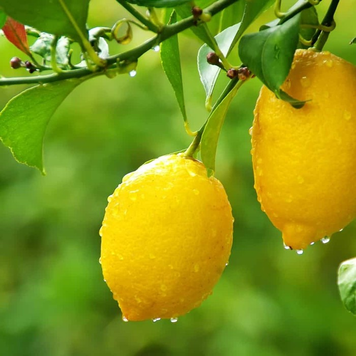 lemons are a source of vitamin c