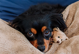 Puppy with upset stomach cuddling with teddy bear