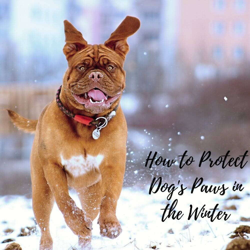 How to protect your dog's paws in the winter
