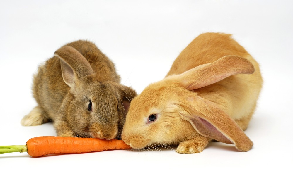 rabbits eating a carrot