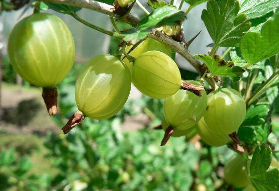 The Mother Herb - Indian Gooseberry