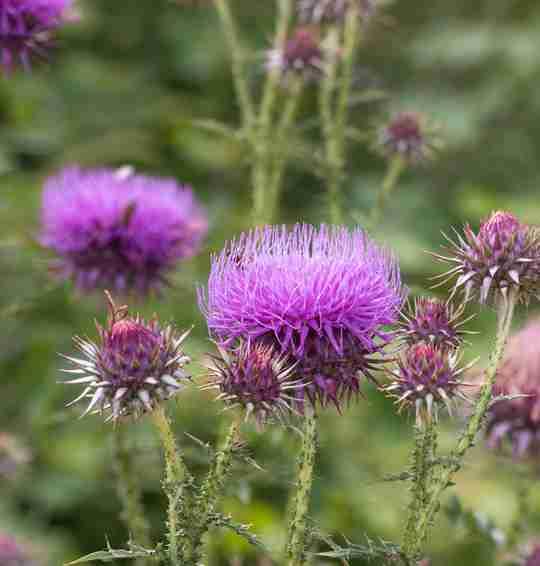 Post-workout supplements milk thistle seed extract.