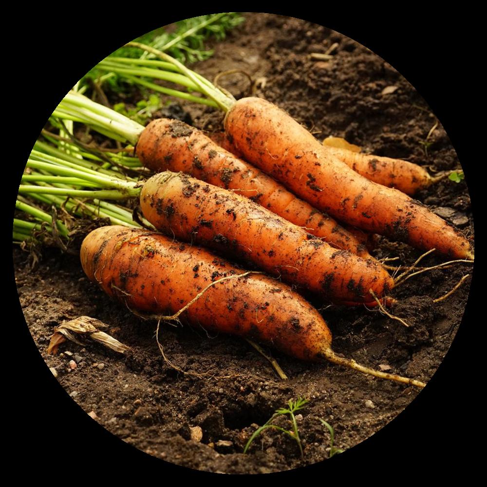 Scarlet Nantes Carrot Plant