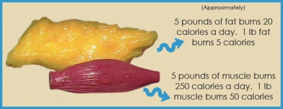 Metabolism Muscle Fat Calories