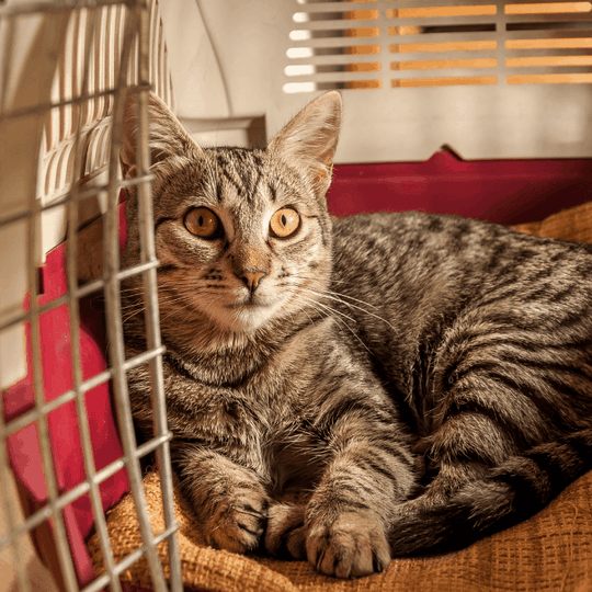 how to get a cat in a carrier - blog image